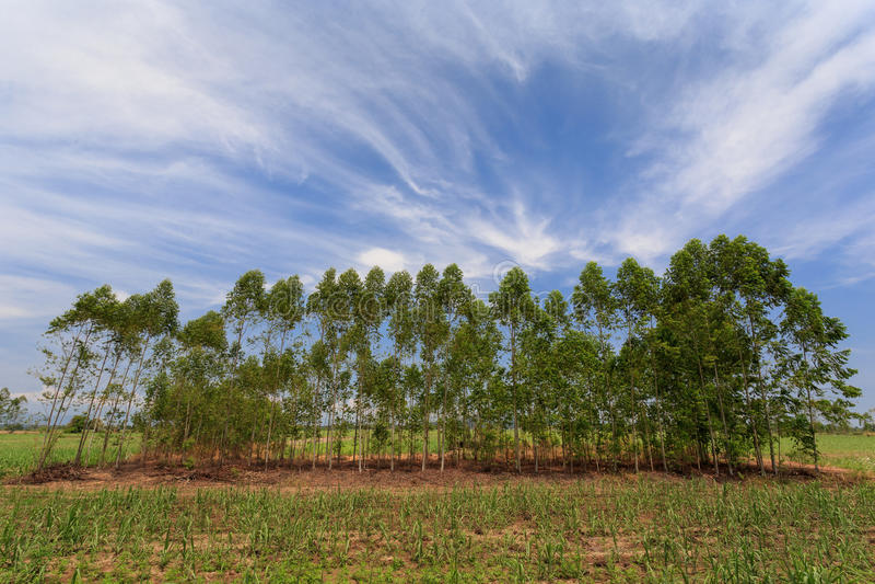 Eucalyptusboom op gebied stock fotografie