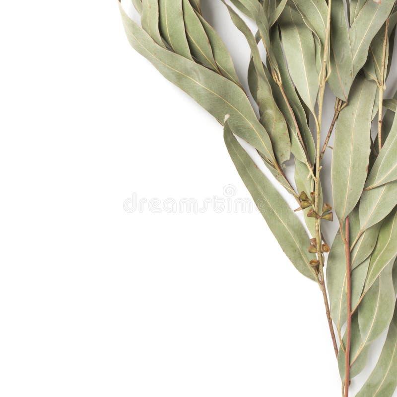 Eucalyptustakje op witte achtergrond royalty-vrije stock afbeeldingen