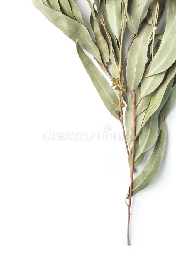 Eucalyptustakje op witte achtergrond stock fotografie