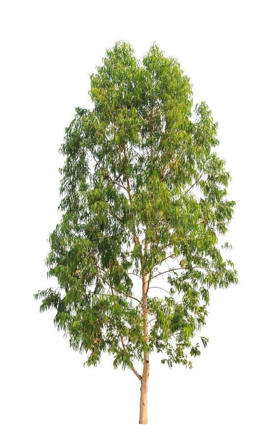 Eucalyptustree royaltyfri foto