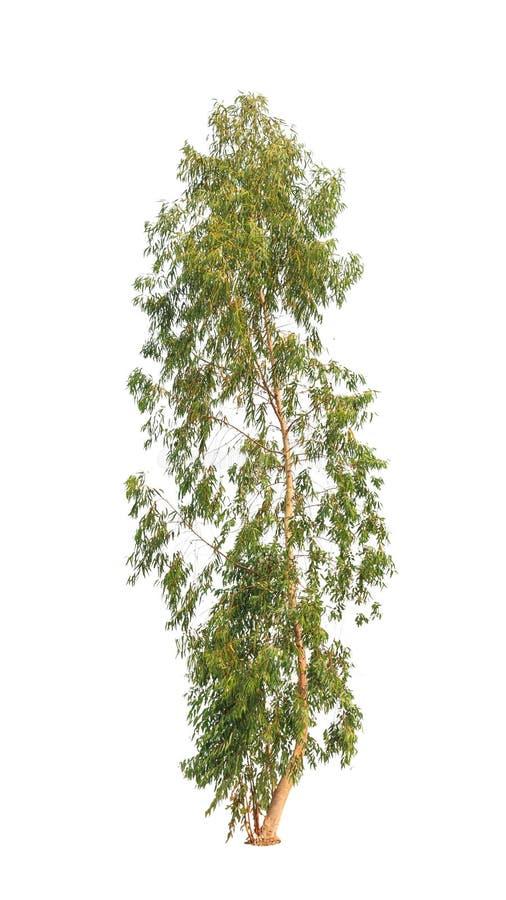 Eucalyptustree royaltyfri bild