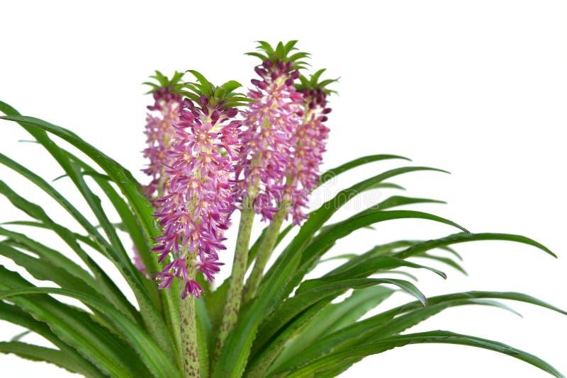 Eucomis 'Aloha Lily Leia' imagens de stock