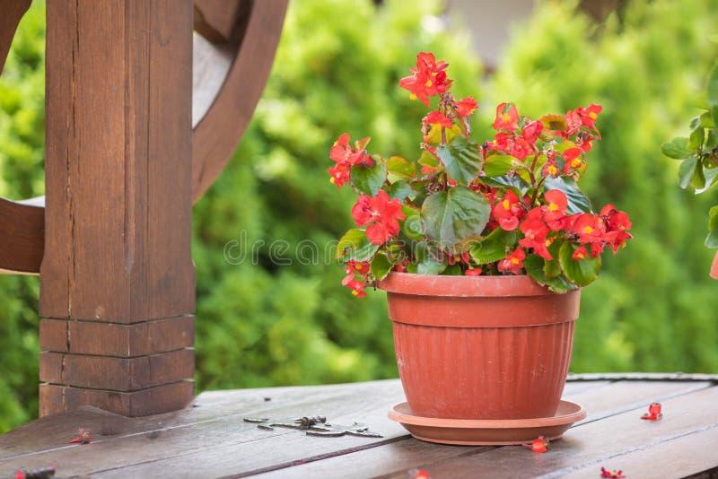Eufórbio Coroa do milii do eufórbio da flor do Natal de espinhos no potenciômetro de flor imagem de stock royalty free
