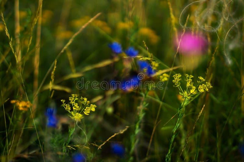 Euforbia dei fiori del campo wheaten fotografia stock