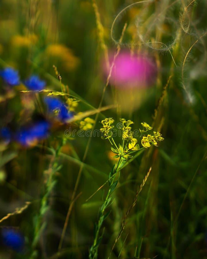 Euforbia del fiore del campo wheaten fotografia stock libera da diritti