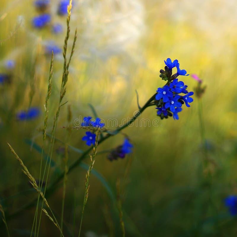 Euforbia del fiore del campo wheaten fotografia stock