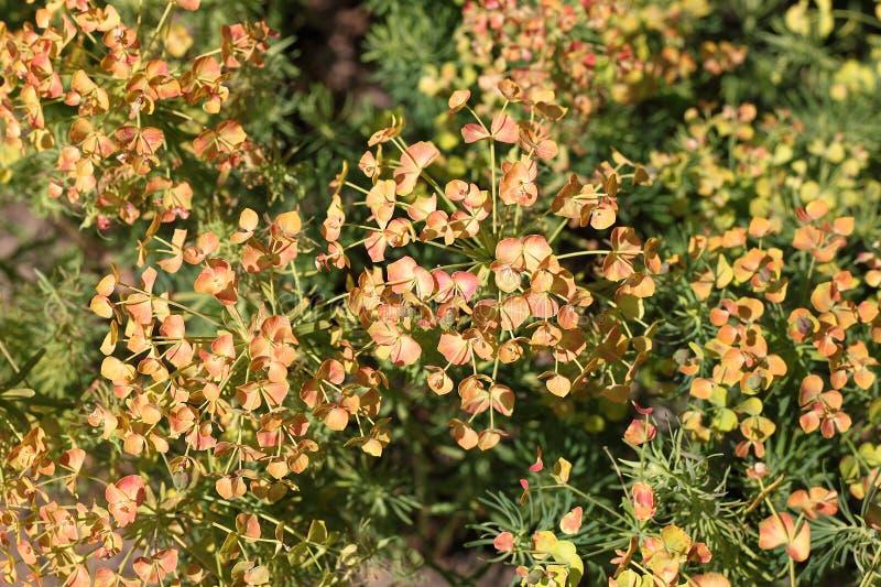 Euforbia di Cypress (cyparissias di rbia del ³ di EuphÃ) fotografia stock libera da diritti