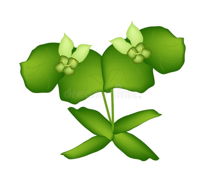 Euforbia di due Cypress o euforbia verde Cyparissias illustrazione vettoriale