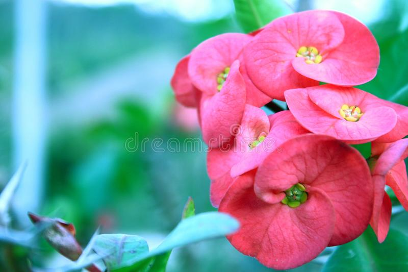 Euforbii Milii trzonu kolców rośliny natury Ostry tło zdjęcie stock