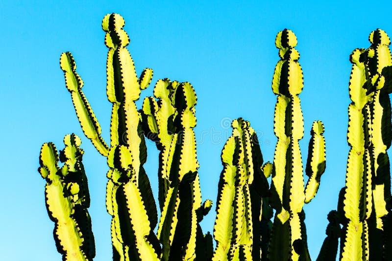 Euforbio de cactus imagen de archivo libre de regalías
