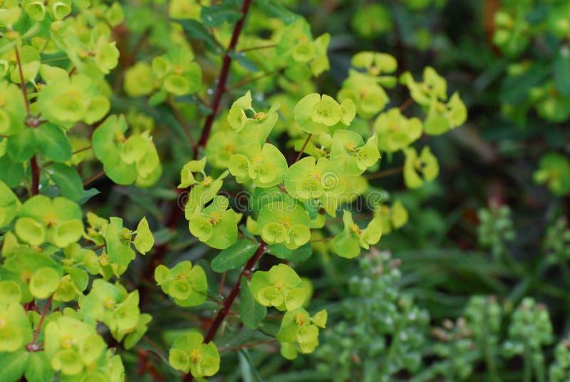 Euforbio floreciente en un jardín fotografía de archivo libre de regalías