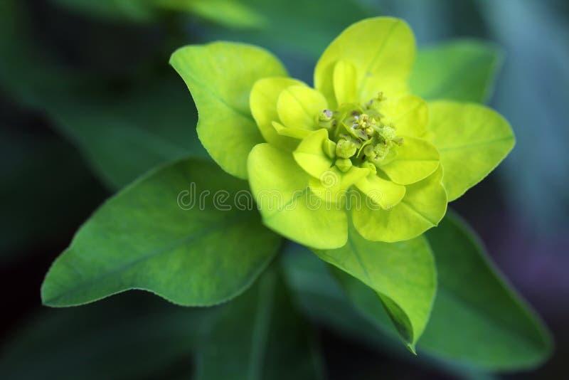 Euforbio Palustris - planta de Spurge del pantano imagen de archivo libre de regalías
