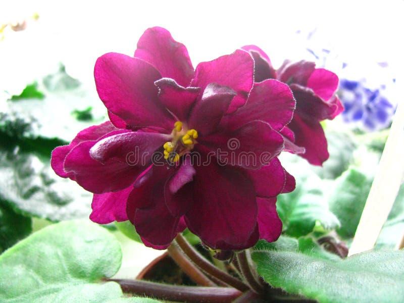 Euforia rosso scuro del fiore ondulato voluminoso sul fondo leggero immagine stock