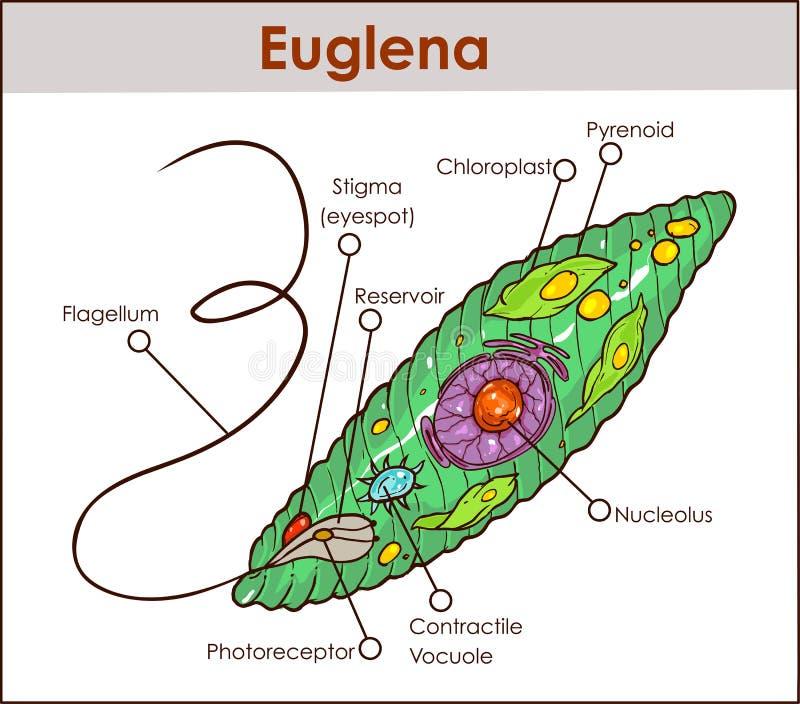 Eug representativo dos protists do diagrama de seção transversal do Euglena do vetor ilustração stock