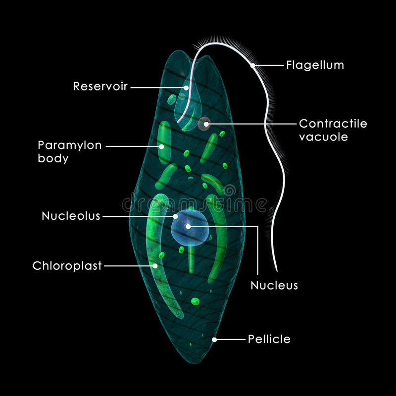 Euglena. Is a genus of single-celled flagellate protists. It is the best known and most widely studied member of the class Euglenoidea, a diverse group vector illustration