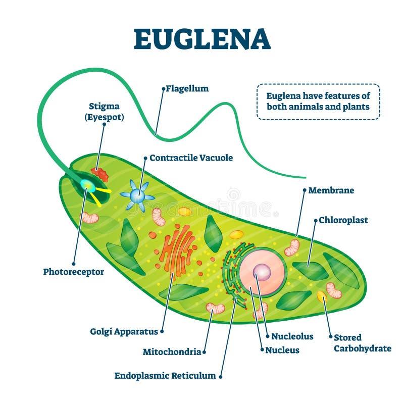Euglena Vektorgrafik Struktur oder Beschreibung des identifizierten Mikroorganismus stock abbildung