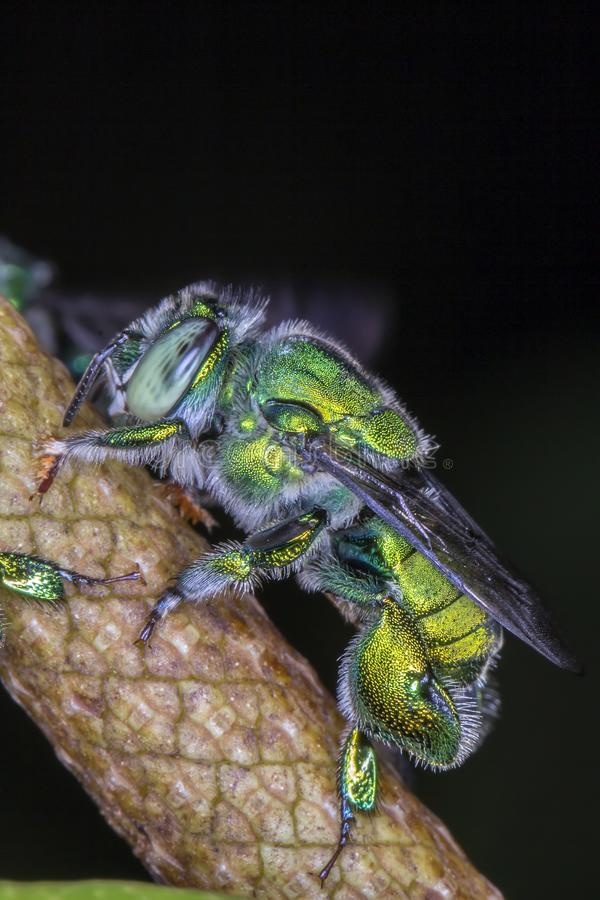 Euglossa sp - Green Bee close up. Agapostemon sp. macro photo stock photo