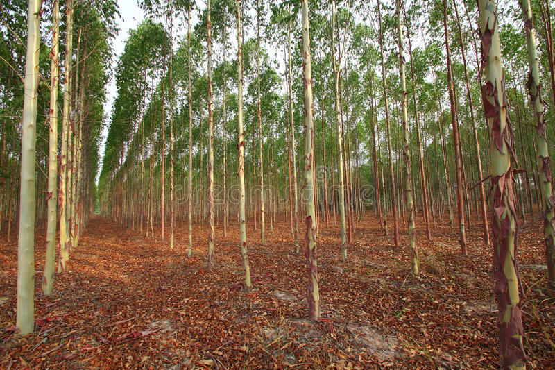 eukaliptus fotografia royalty free