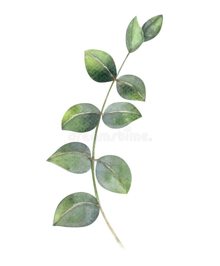 Eukaliptus akwareli ręki gałęziasty obraz, tropikalny liść dla de royalty ilustracja