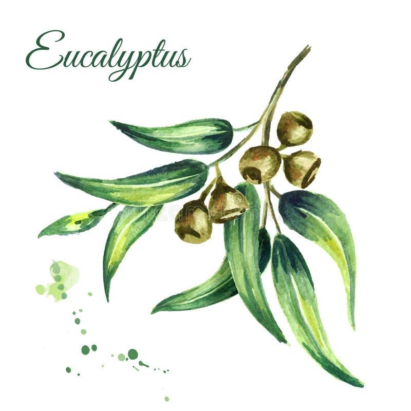 Eukaliptus gałąź, kosmetyki i lecznicza roślina z liśćmi i jagodami odizolowywającymi na białym tle, Akwareli ręka rysująca boląc ilustracji