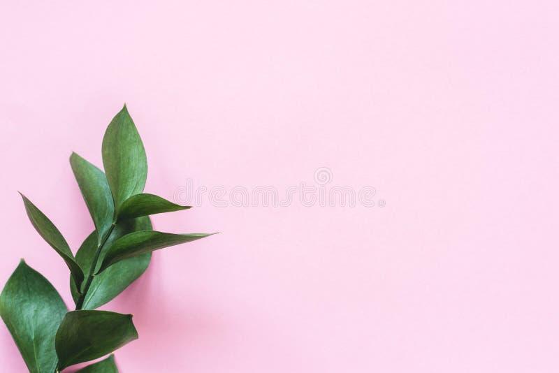 Eukaliptus gałąź na różowym tle obraz stock