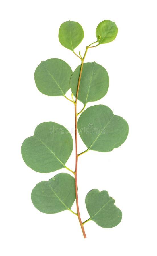 eukaliptus odizolowywający liść zdjęcie stock