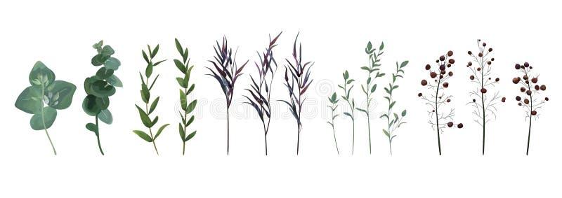 Eukaliptus siający, błękitna agonis macierzanka, szparagowy jagodowy projektant a ilustracji