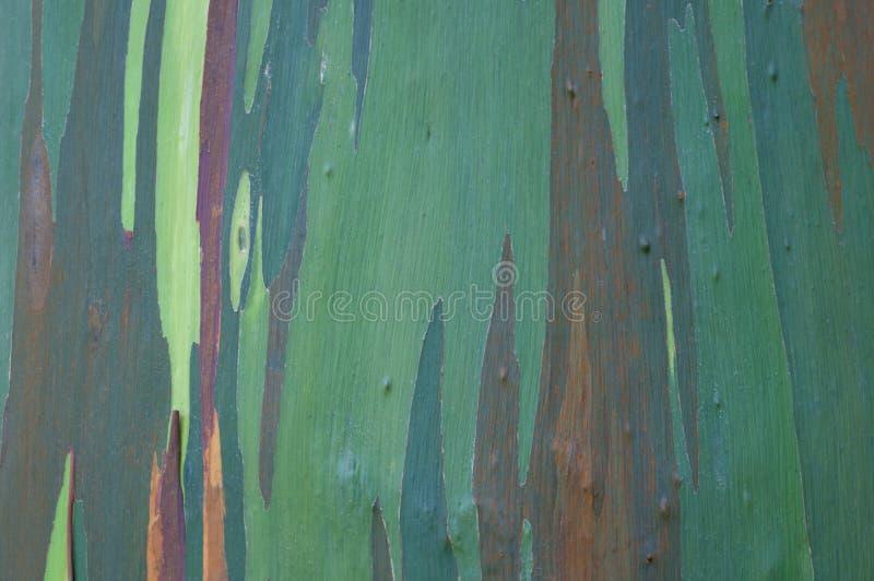 Eukaliptusa korowaty zakończenie fotografia stock