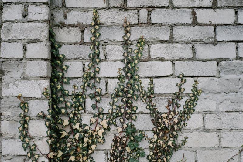 Eukaliptusowe gałąź zdjęcia royalty free