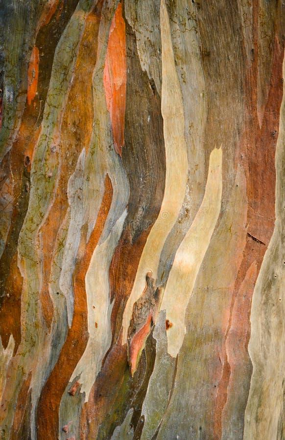 Eukaliptusowego deglupta drzewna barkentyna obraz royalty free
