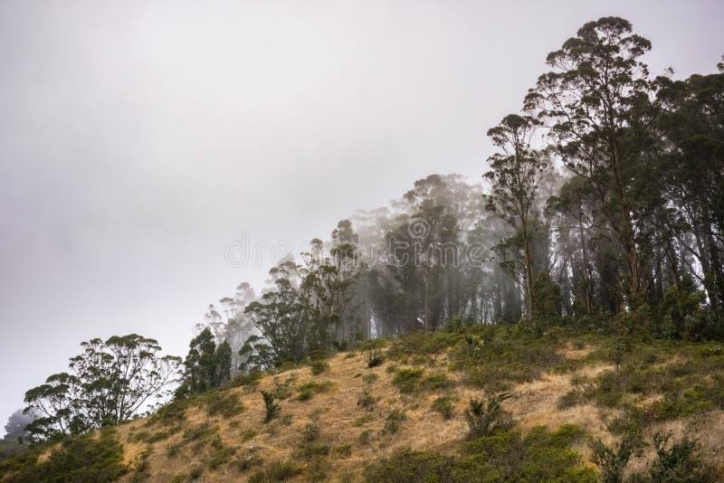 Eukaliptusowego drzewa gaj na oceanu spokojnego wybrzeżu, Headlands, golden gate Krajowy Rekreacyjny teren, Marin okręg administr obraz stock