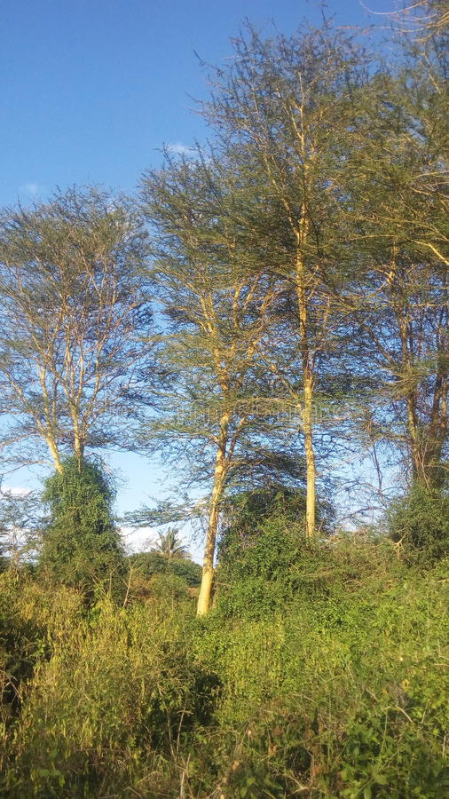 Eukaliptusowi baldachimy fotografia royalty free