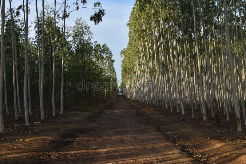 EUKALIPTUSOWI drzewa NA OBA strona sposób obrazy royalty free