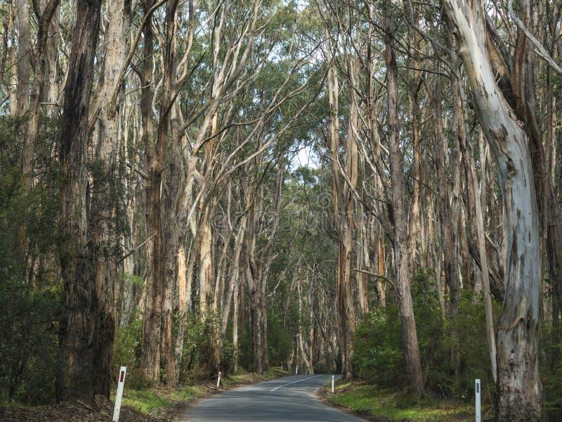 EUKALIPTUSOWI drzewa - WIELKA ocean droga, AUSTRALIA zdjęcie royalty free