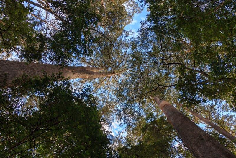 Eukaliptusowi wysocy drzewa zdjęcia stock
