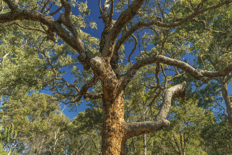 Eukaliptusowy drzewo zdjęcie stock
