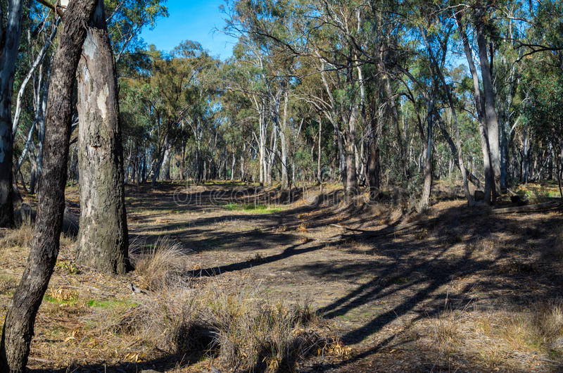 Eukaliptusowy las blisko Shepparton, Australia zdjęcia stock