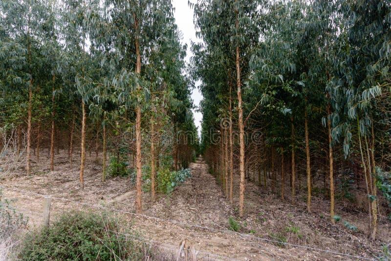 Eukaliptusowy las dla papierowego przemysłu zdjęcie stock