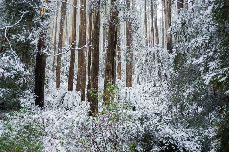 Eukaliptusowy las i fers zakrywający w śniegu, Australia obrazy stock