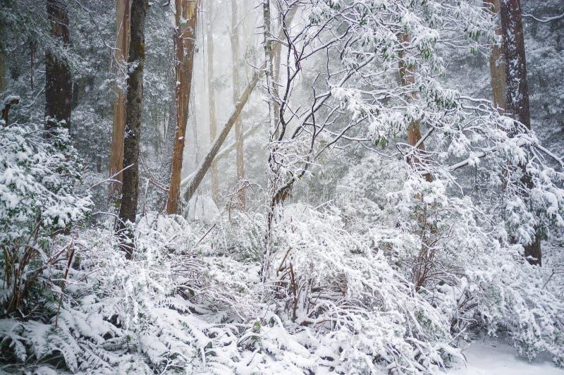 Eukaliptusowy las zakrywający w śniegu w zimie, Australia obrazy stock