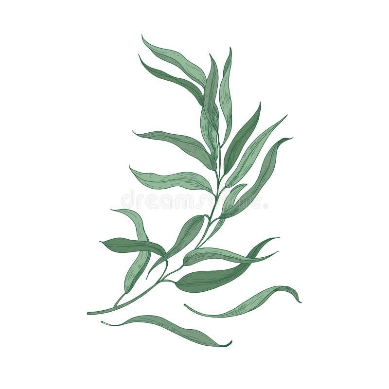 Eukaliptusowy sprig z zieleń liśćmi odizolowywającymi na białym tle Naturalny szczegółowy rysunek używać dla kwiecistego roślina royalty ilustracja