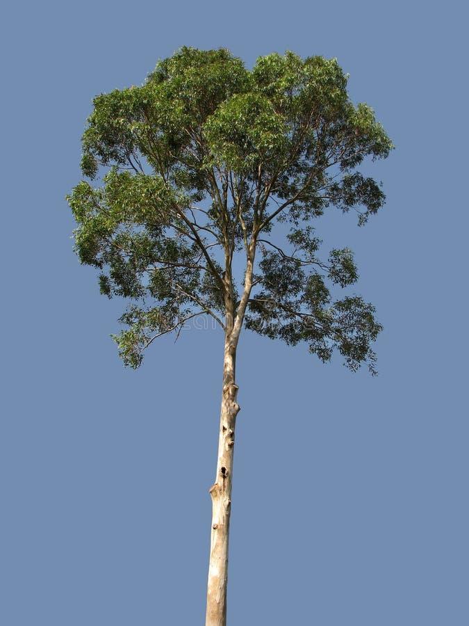 eukalyptus baum stockfoto bild von australien. Black Bedroom Furniture Sets. Home Design Ideas