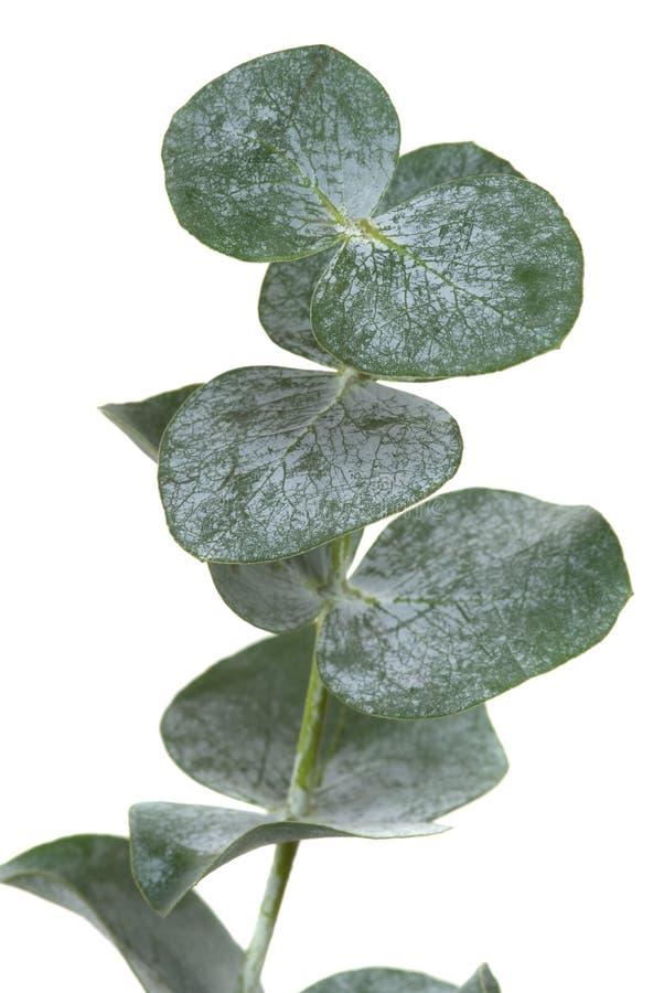 Eukalyptus-Blatt lizenzfreie stockbilder