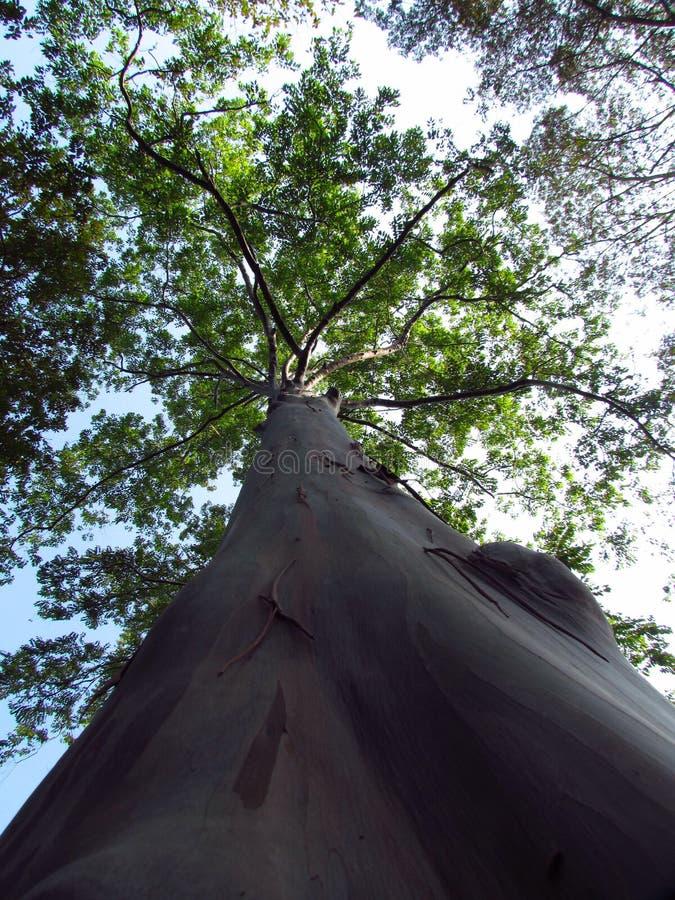 Eukalyptus deglupta, Thailand lizenzfreies stockbild