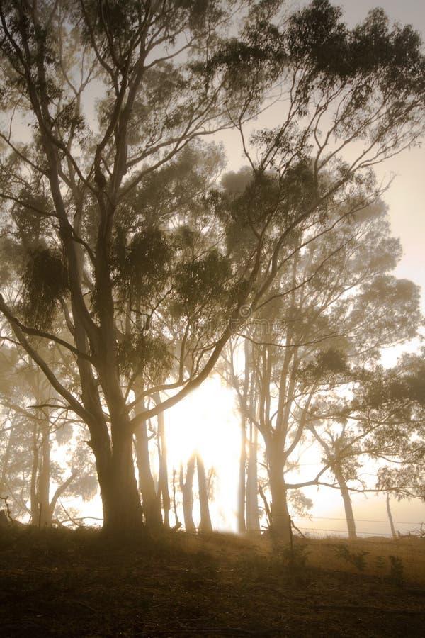 Eukalyptus im Nebel lizenzfreies stockbild