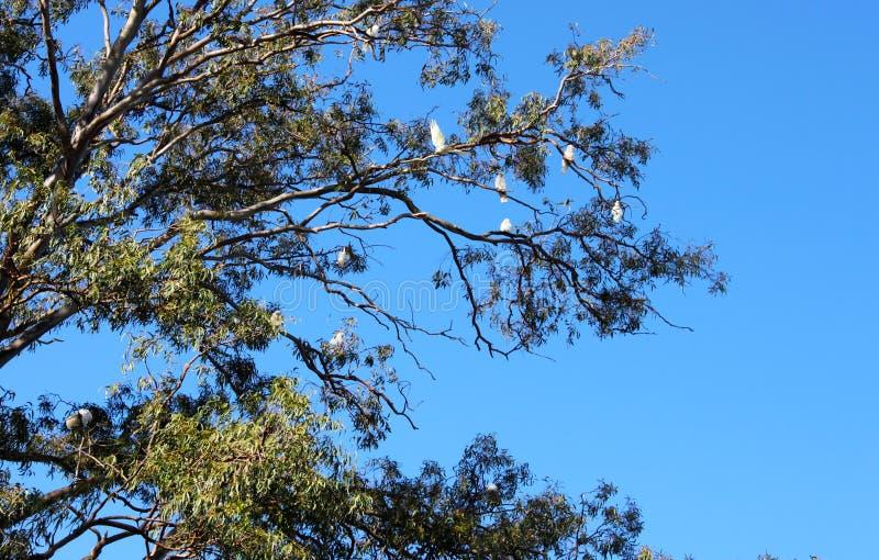 Eukalyptus voll von Cookatoo-Vögeln in Queensland Australien lizenzfreie stockfotografie