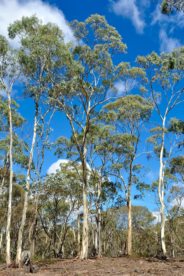 eukalyptus wald victoria australien stockfoto bild von. Black Bedroom Furniture Sets. Home Design Ideas