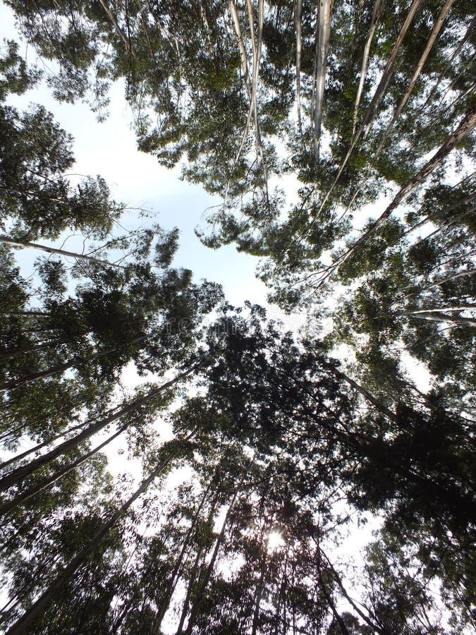 Eukalyptusbäume stockbilder