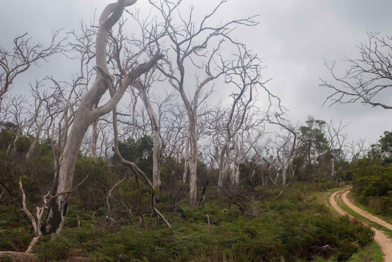 Eukalyptusbäume auf der großen Ozeanstraße stockfoto