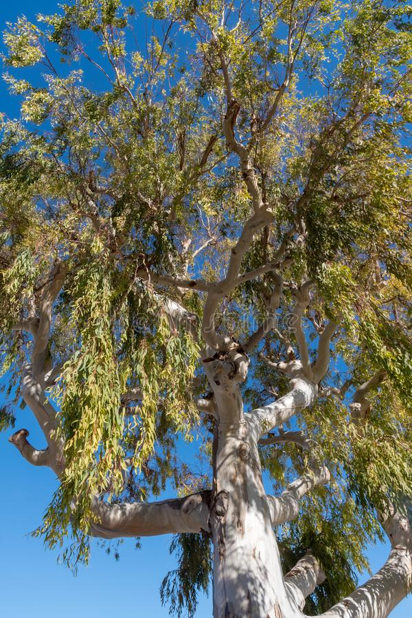 Eukalyptusbaum stockbild